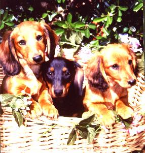 puppy_basket